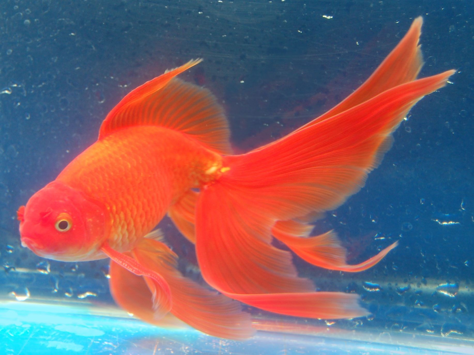 Goldfish beautiful long finned fantail goldfish for for Large pond goldfish