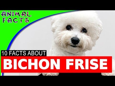 10 Interesting Bichon Frise Facts Dogs