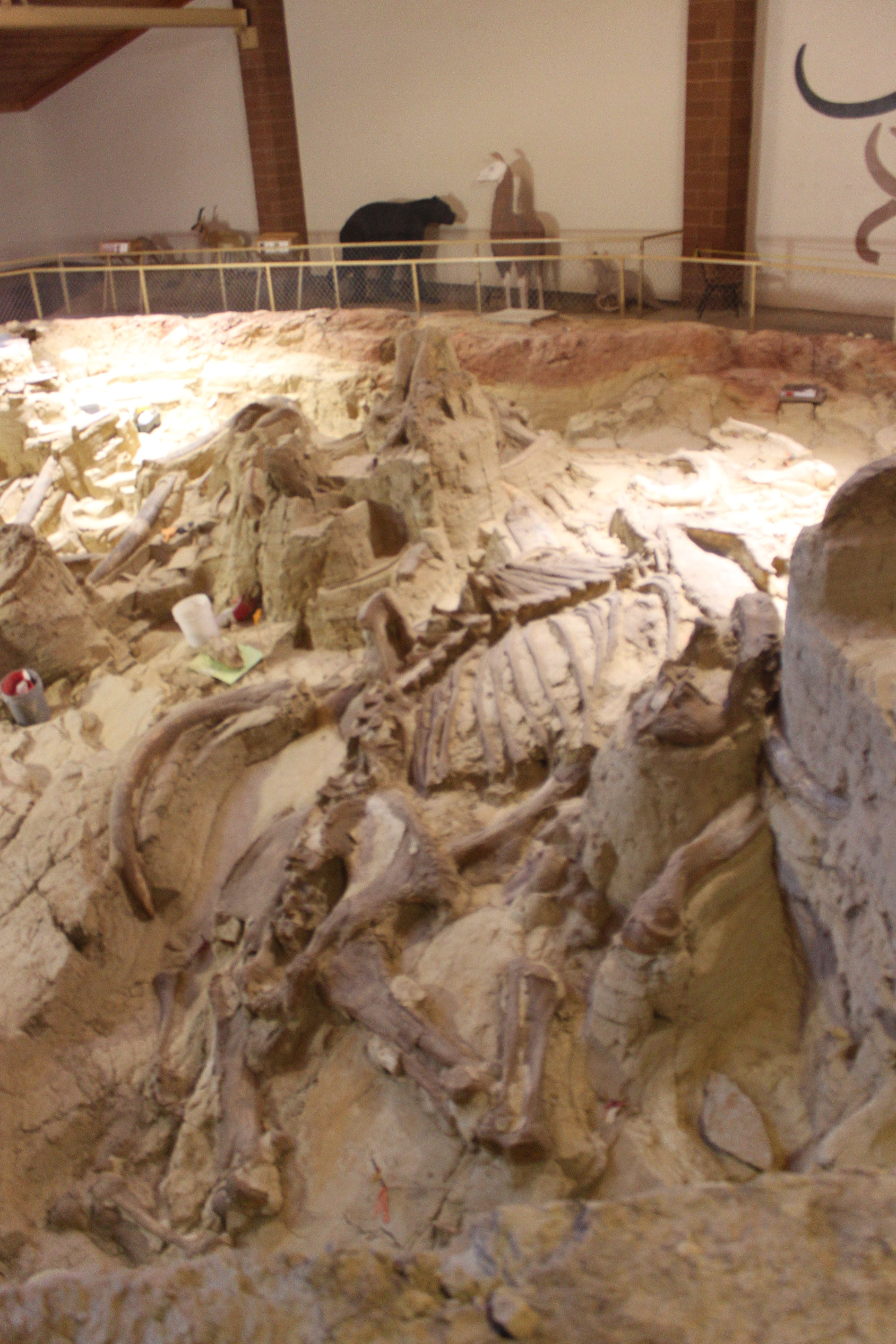 -Picture taken by me-at the Mammoth Site-Hot Springs, South Dakota. Actual mammoth remains in a sinkhole from the Pleistocene Era that a museum was built around when it was found in 1974.