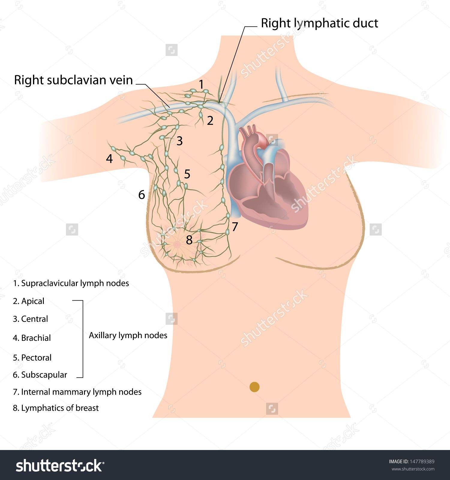 Axillary Groups Of Lymph Nodes Assessment Pinterest Lymph