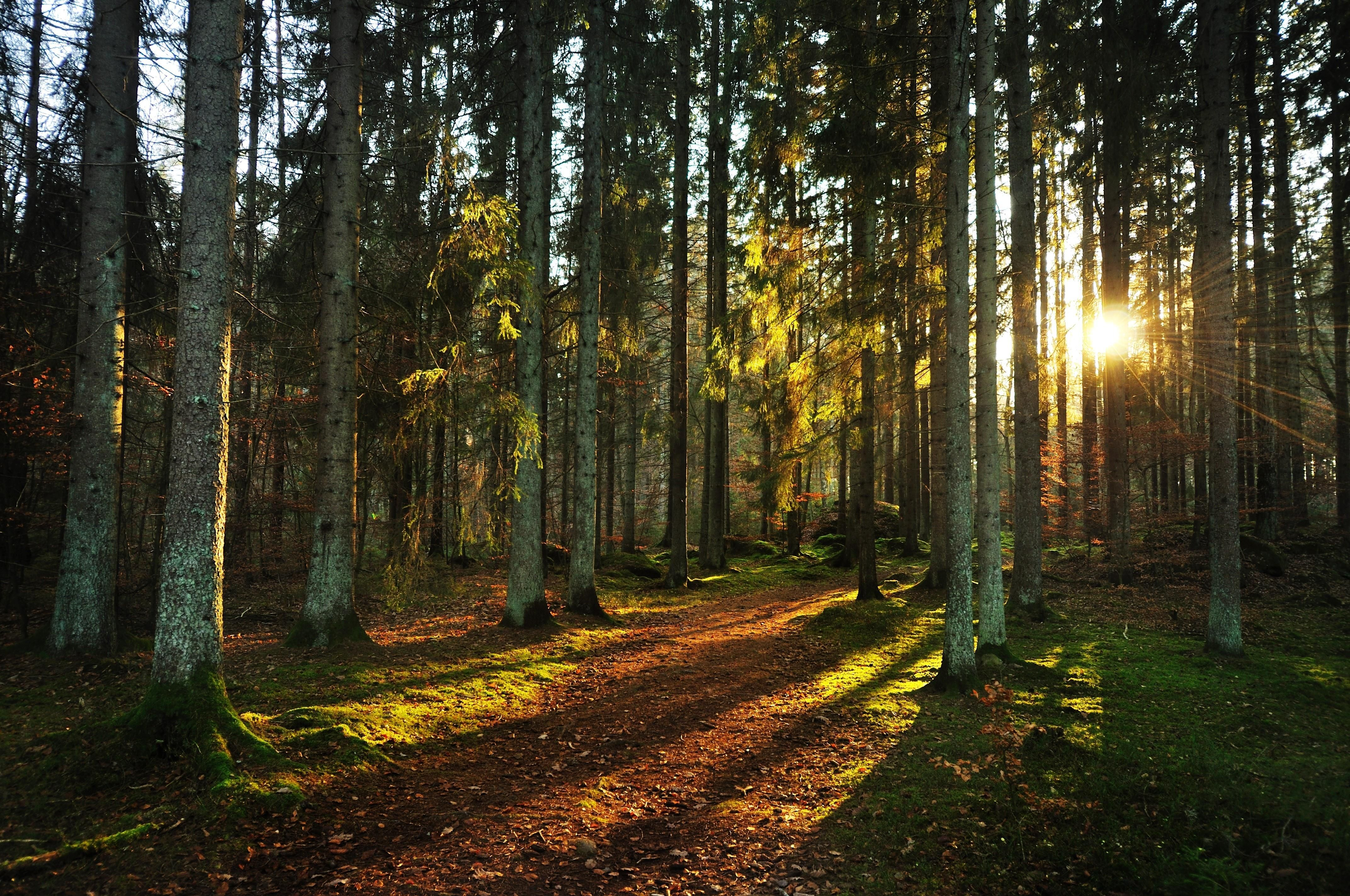 Sunset Forest Background Forest Sunset 118196