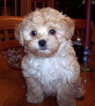 We Re Looking For A Furbaby Bichon Poodle Mix Puppies Bichon Dog