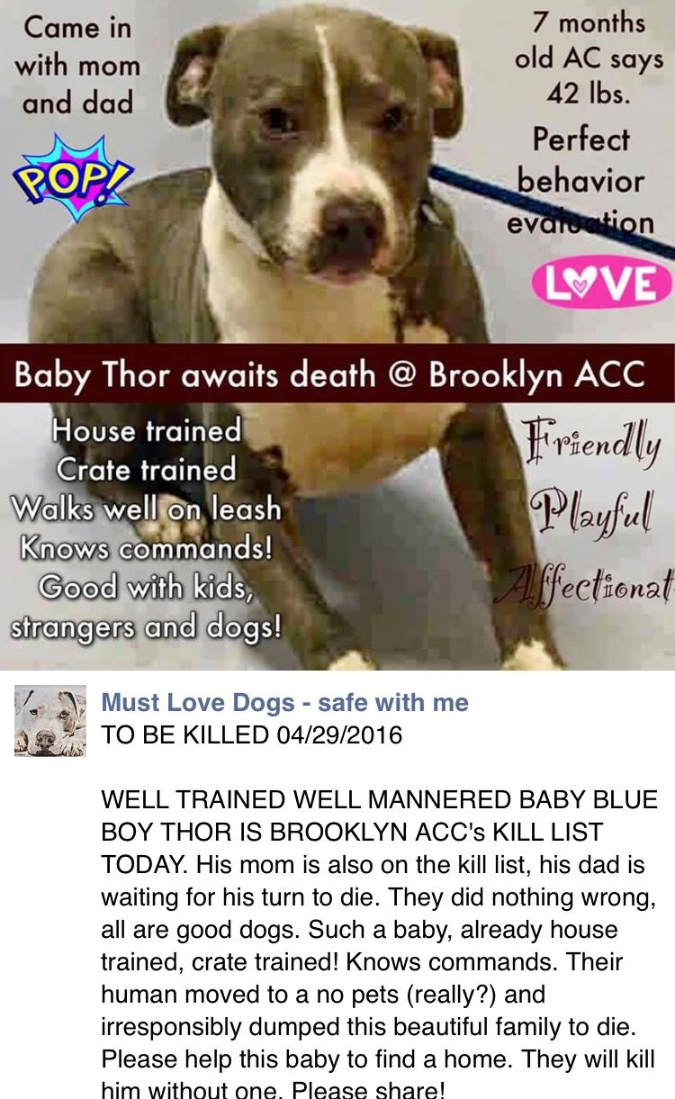 SAFE❤️❤️ 4/30/16 Brooklyn Center My name is THOR. My Animal ID # is A1070807. I am a male gray and white am pit bull ter mix. The shelter thinks I am about 7 MONTHS old. I came in the shelter as a OWNER SUR on 04/19/2016 from NY 11365, owner surrender reason stated was MOVE2PRIVA. http://nycdogs.urgentpodr.org/thor-a1070807/