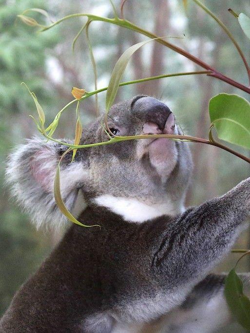 Queensland Koala(Phascolarctos cinereus)bycuatrok77