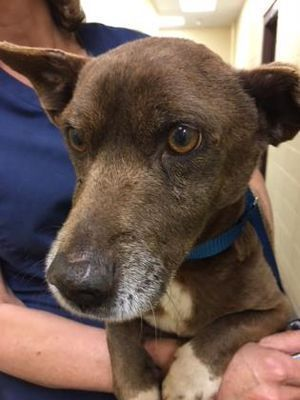 Fort Worth, TX Chihuahua. Meet Sydney a Dog for Adoption