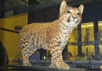 Pumapard (Natuarl History Museum Tring) | This & That ...