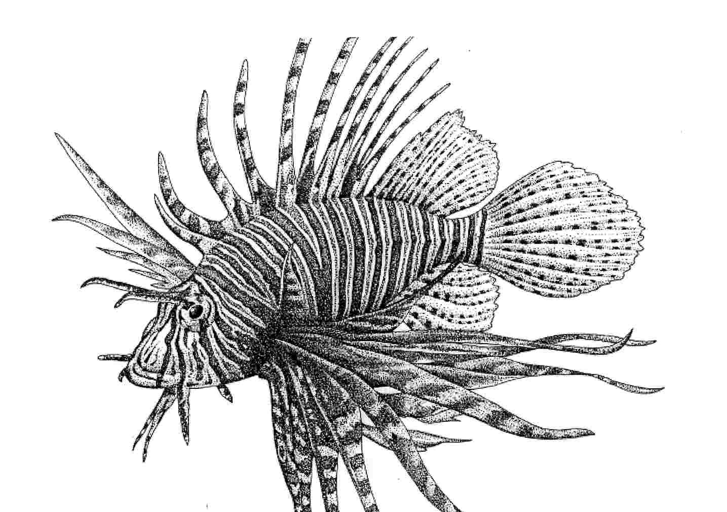 Clip Art Lionfish Coloring Page 1000 images about tattoo on pinterest