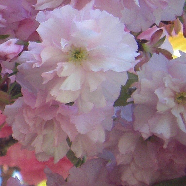 On a freezing cold Valentines Day our thoughts turn to Spring. Here's where to find cherry blossoms in the Northern Virginia area.