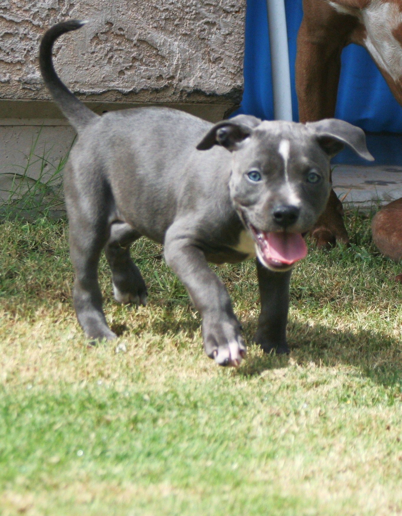 Pin By Carlos Araiz On Hashbrown S Friends Dogs And Puppies Blue Nose Pitbull Puppies Puppies