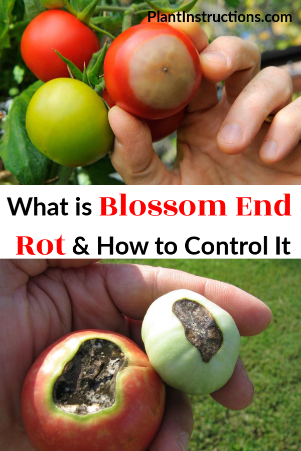 What is Blossom End Rot & How to Control It