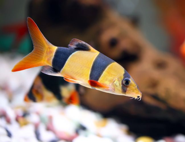 Clown Loach Arizona Aquatic Gardens Tropical Fish Tanks Tropical Freshwater Fish Aquarium Fish