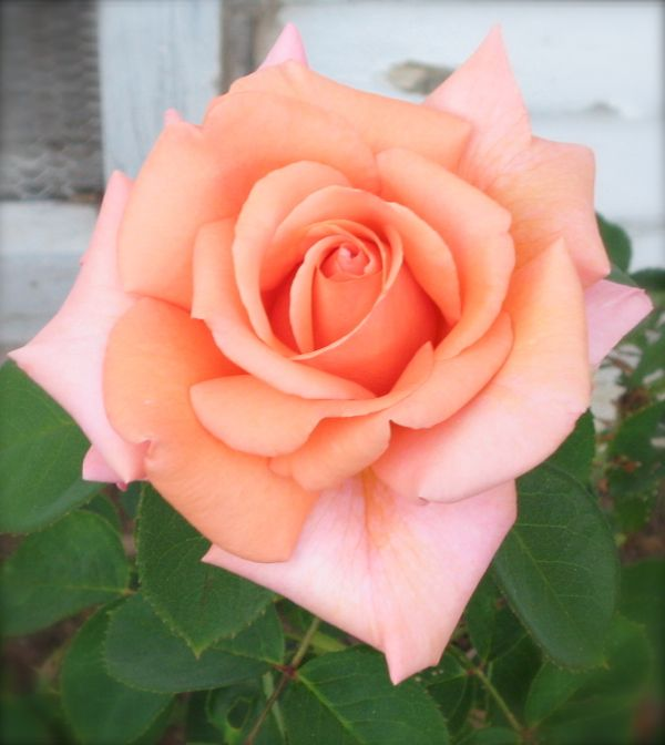 A Perfect Peach Rose For... Accent Color Inspiration