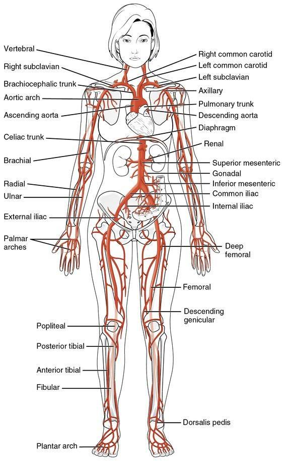 All The Major Arteries Of The Human Body Educational Medical