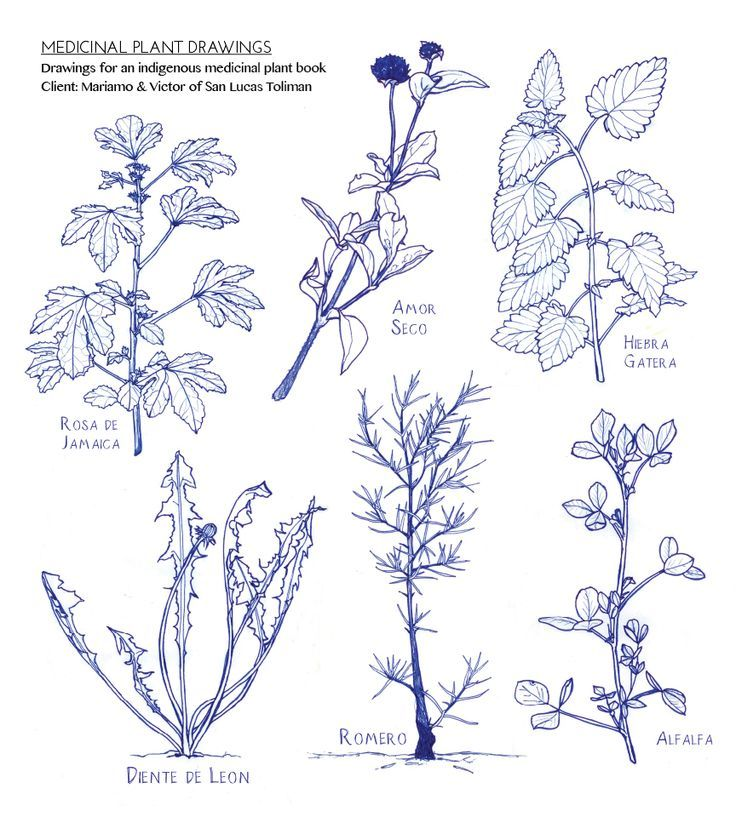 Contour Line Drawing Plant : Plant drawing tutorial medicinal plants how to draw
