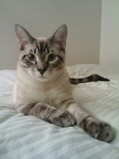 Sydney At 6 Months Tabby Point Siamese Pretty Cats Beautiful Cats Cats And Kittens