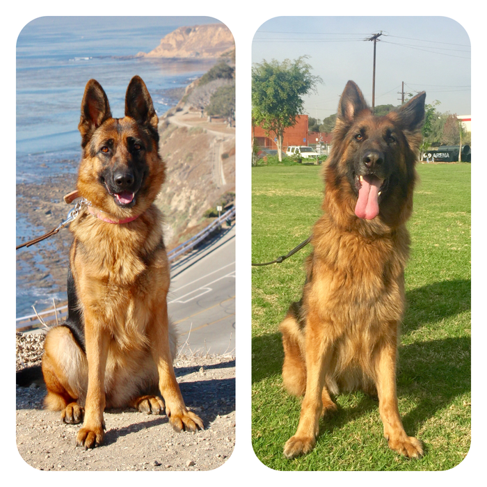 These 2 Beautiful Female German Shepherds Are Available For