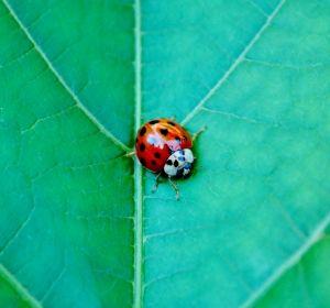 Ladybugs:)