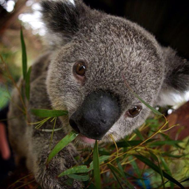 Koalaa!