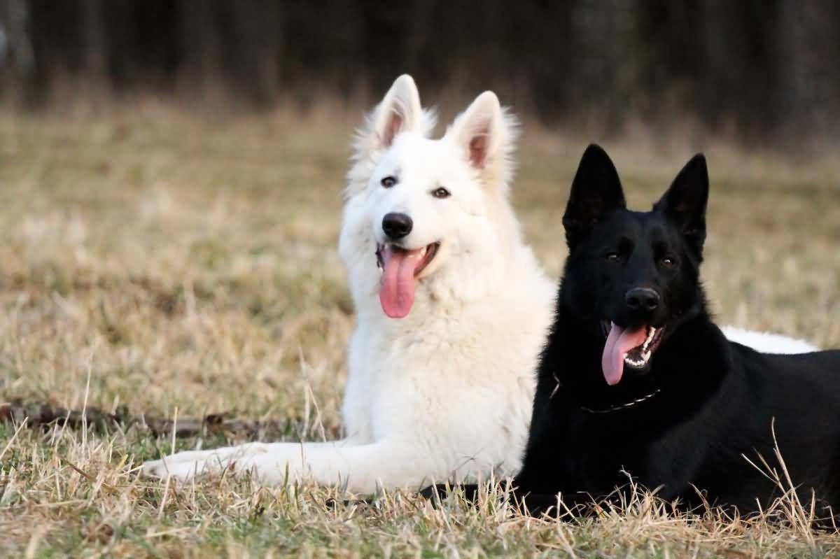 Pin Von Kathi Auf Pet In 2020 Mit Bildern Schaferhunde Weisser Schaferhund Deutsch Schaferhunde