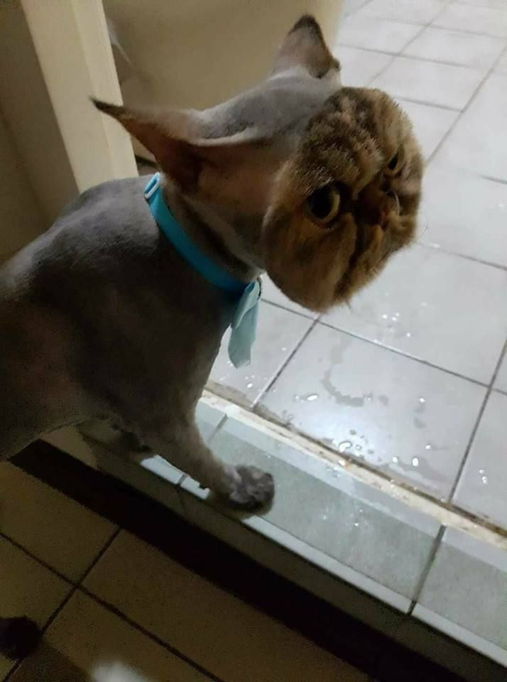 A Cat Completely Shaved Except Its Face More Incredible Links - Hilarious photographs faces pulled sneezing dogs cats