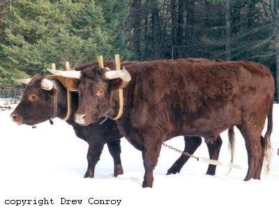 Milking Devon Oxen
