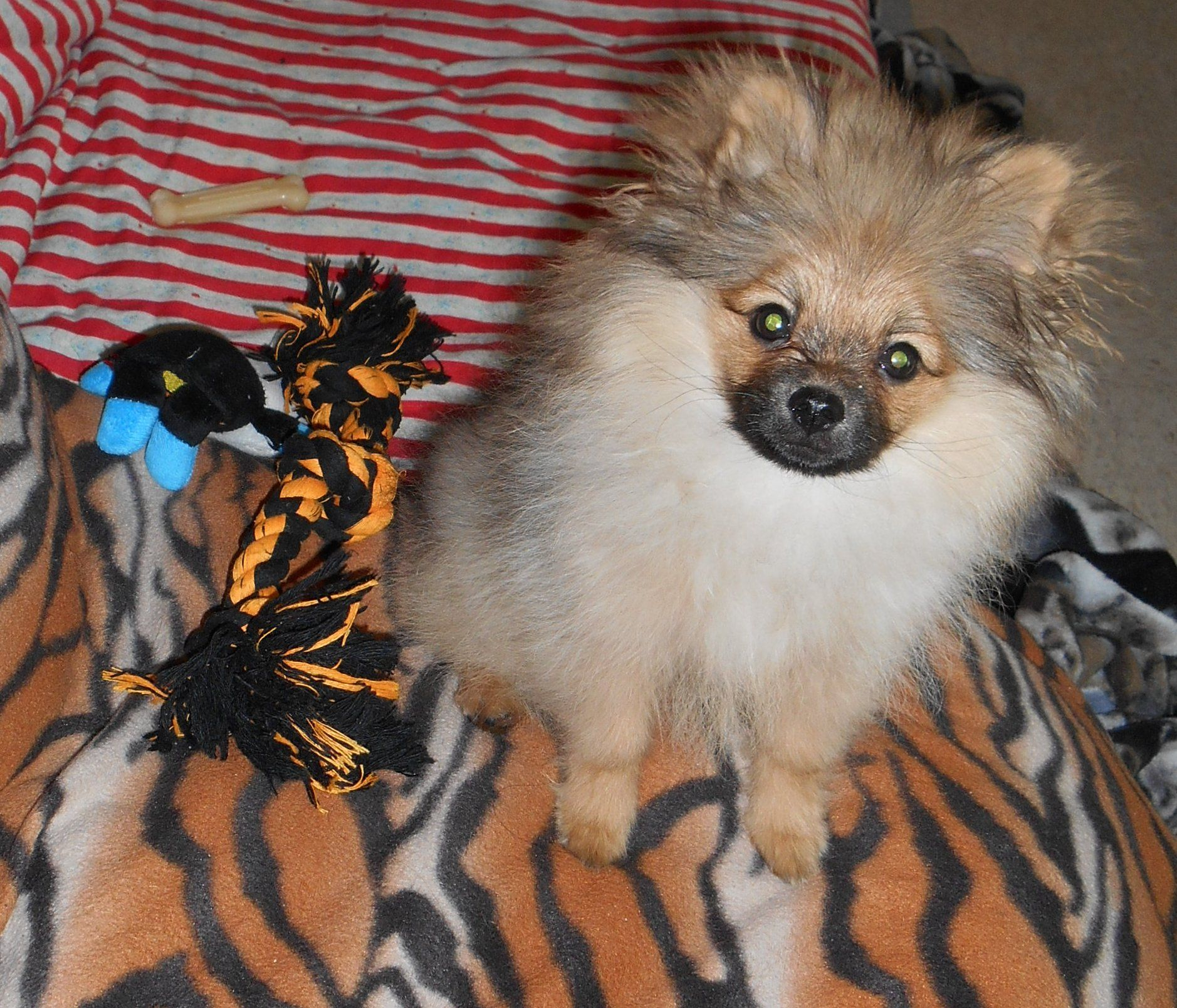 corduroy the pomeranian puppy in his monkey stages/puppy