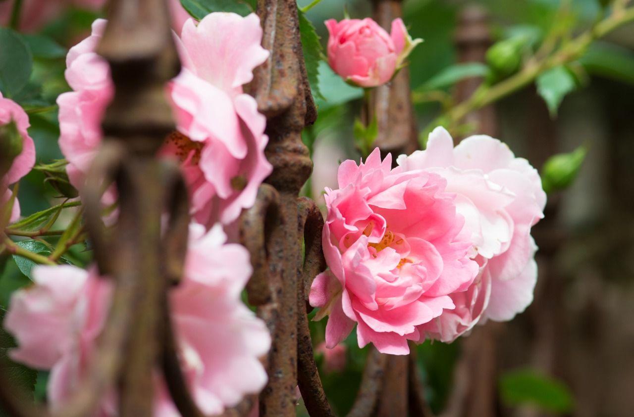 Rosen Sind Die Klimagewinner Rosenarten Rosen Anpflanzung