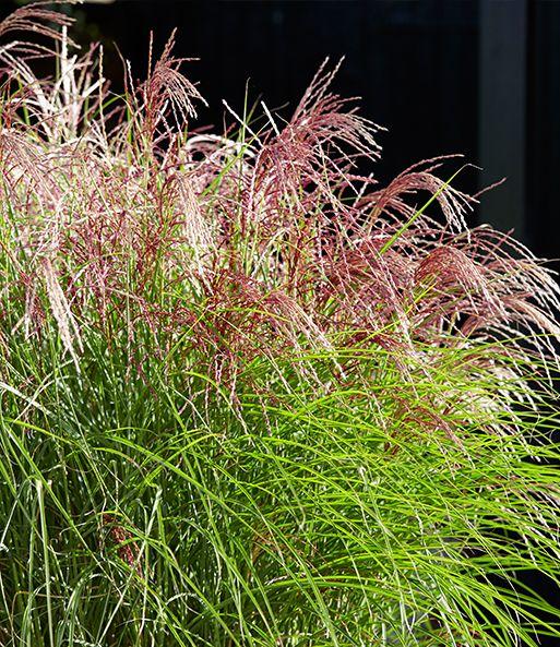Miscanthus Red Cloud 1a Graser Kaufen Baldur Garten Ziergras Winterharte Graser Pflanzen