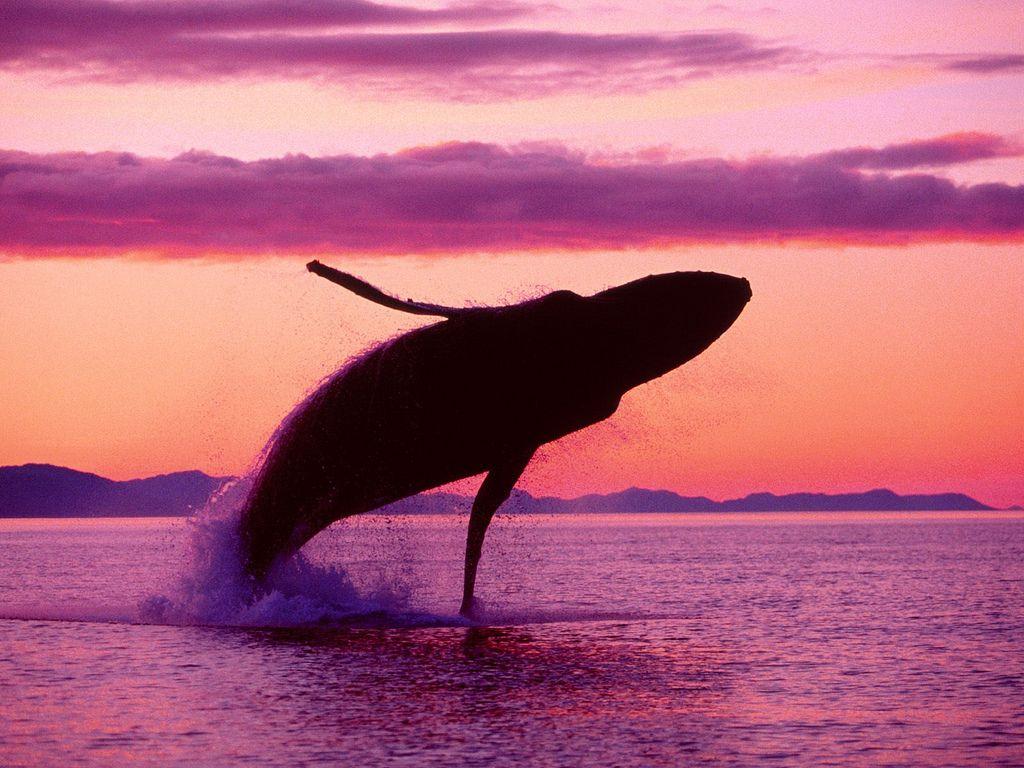 Crimson Flight Humpback Whale Alaska Pictures Underwater Photos Whale Humpback Whale Sea Life Wallpaper