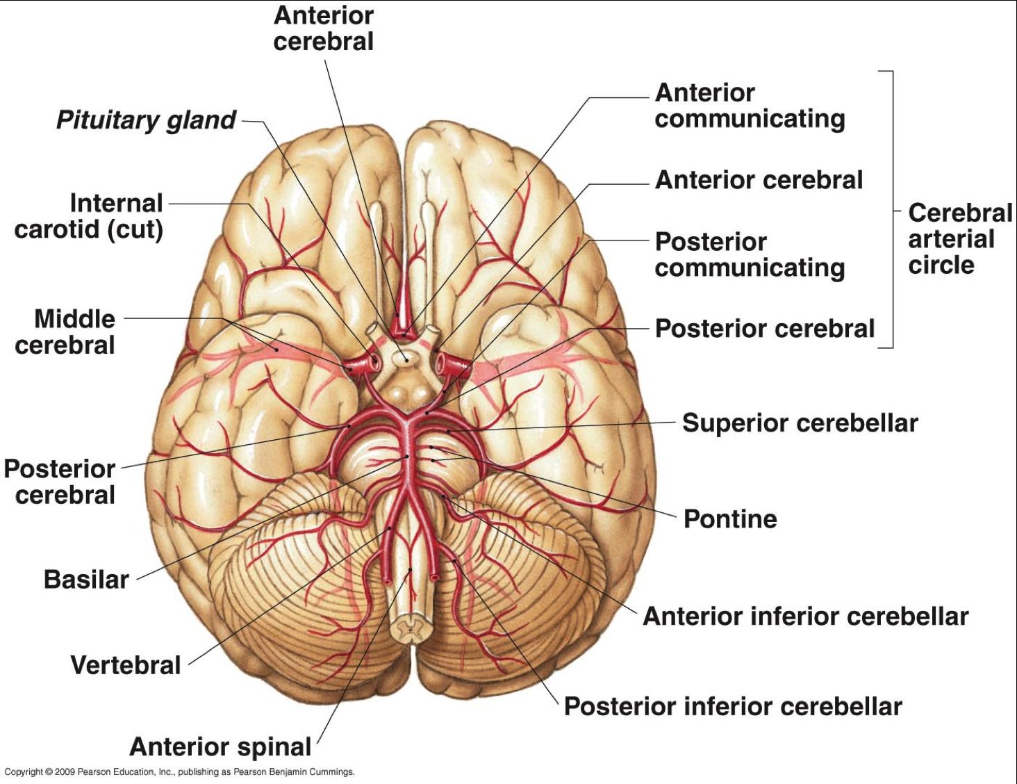 arteries that supply the brain  Google Search | The Brain