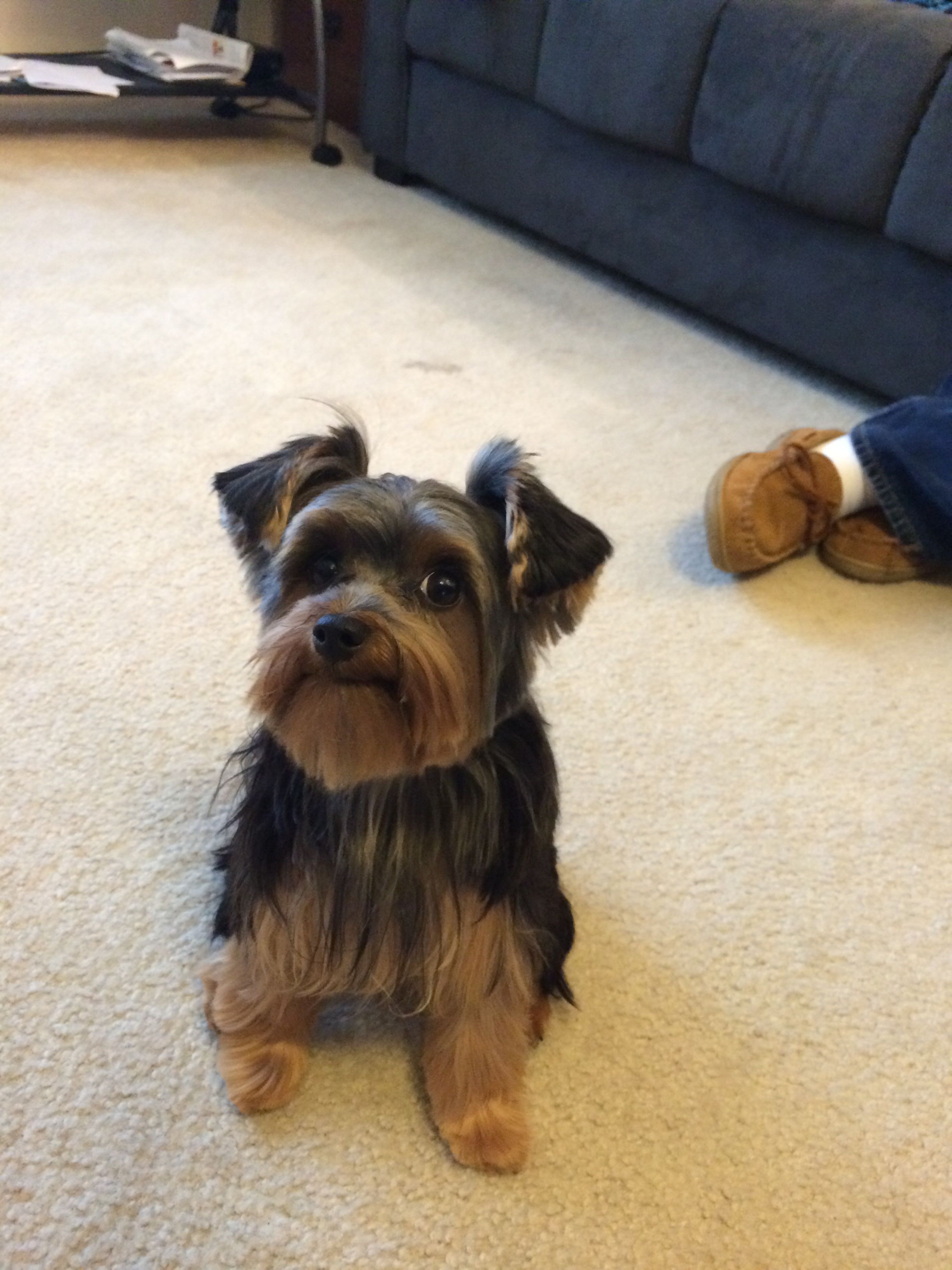 Yorkie Haircuts For Males And Females 60 Pictures Yorkie Life Yorkshire Terrier Yorkshire Terrier Dog Yorkie Haircuts