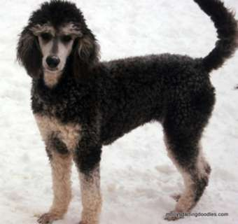 Phantom Poodle Akc Phantom Standard Poodles Born 6 24 1 000
