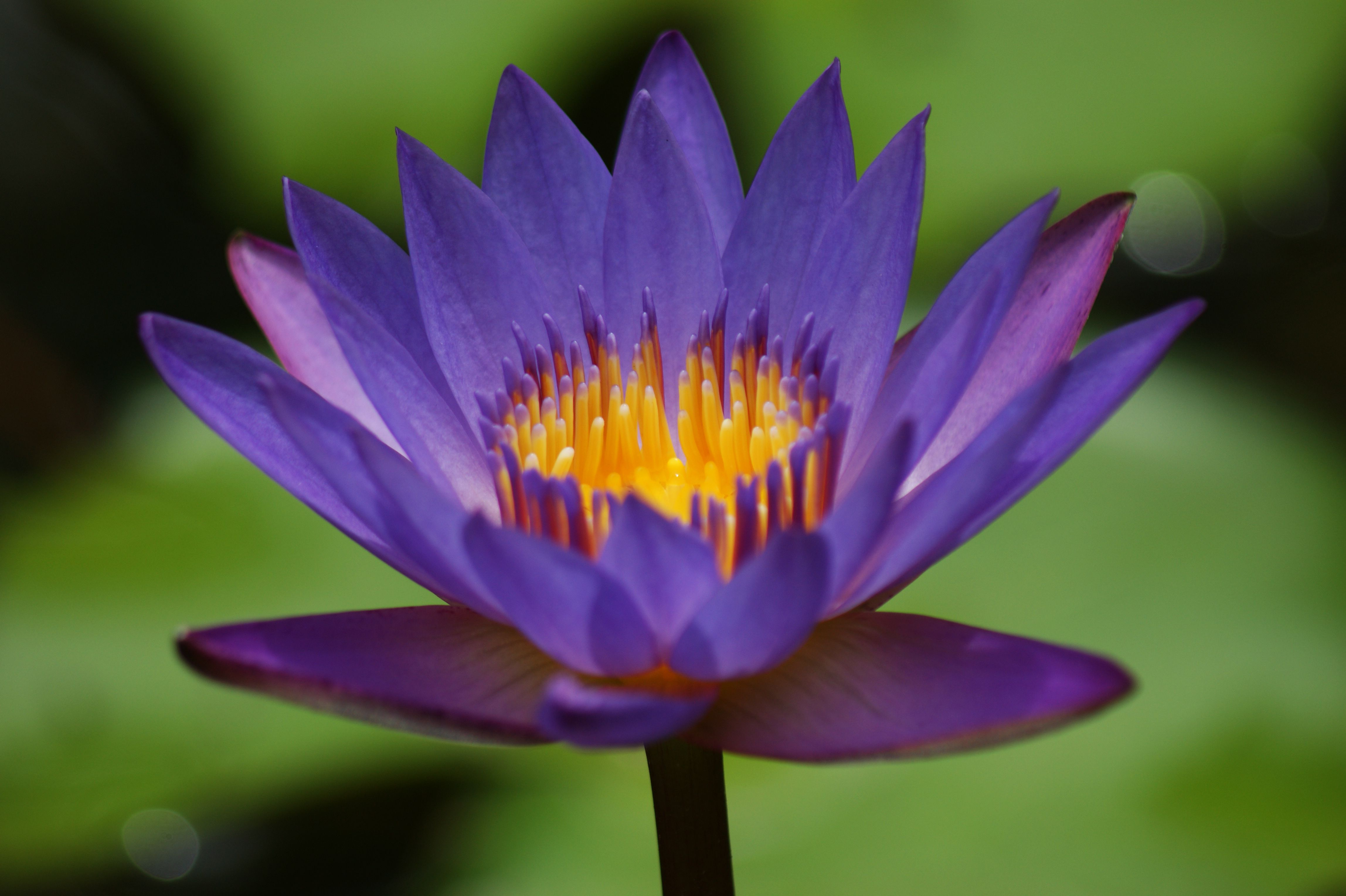 Blue Flower Water Lily Httpenpediawikifile