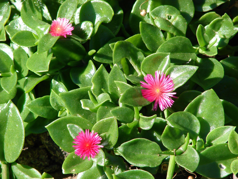 Aptenia Cordifolia Cerca Con Google Con Immagini Fiori Piante