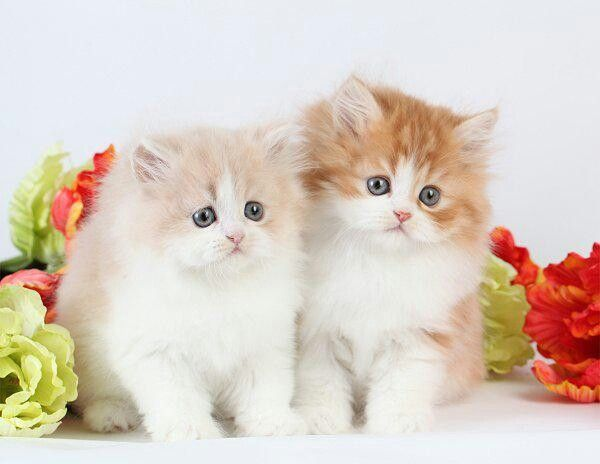 Pin By Sandysellers On I Love Cats Persian Kittens Persian Cat Doll Face Kittens