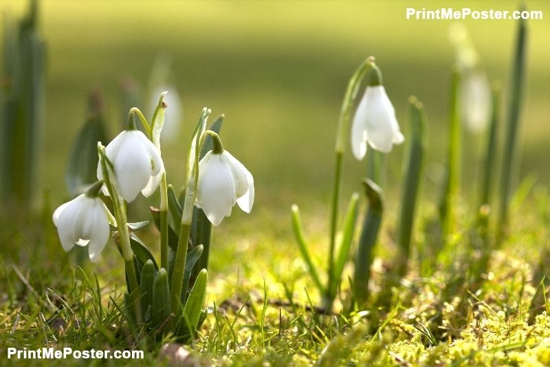 Snowdrop Flowers In Morning Soft Focus Perfect For Postcard Poster Id F29190164 Spring Wallpaper Spring Flowers Wallpaper Spring Desktop Wallpaper