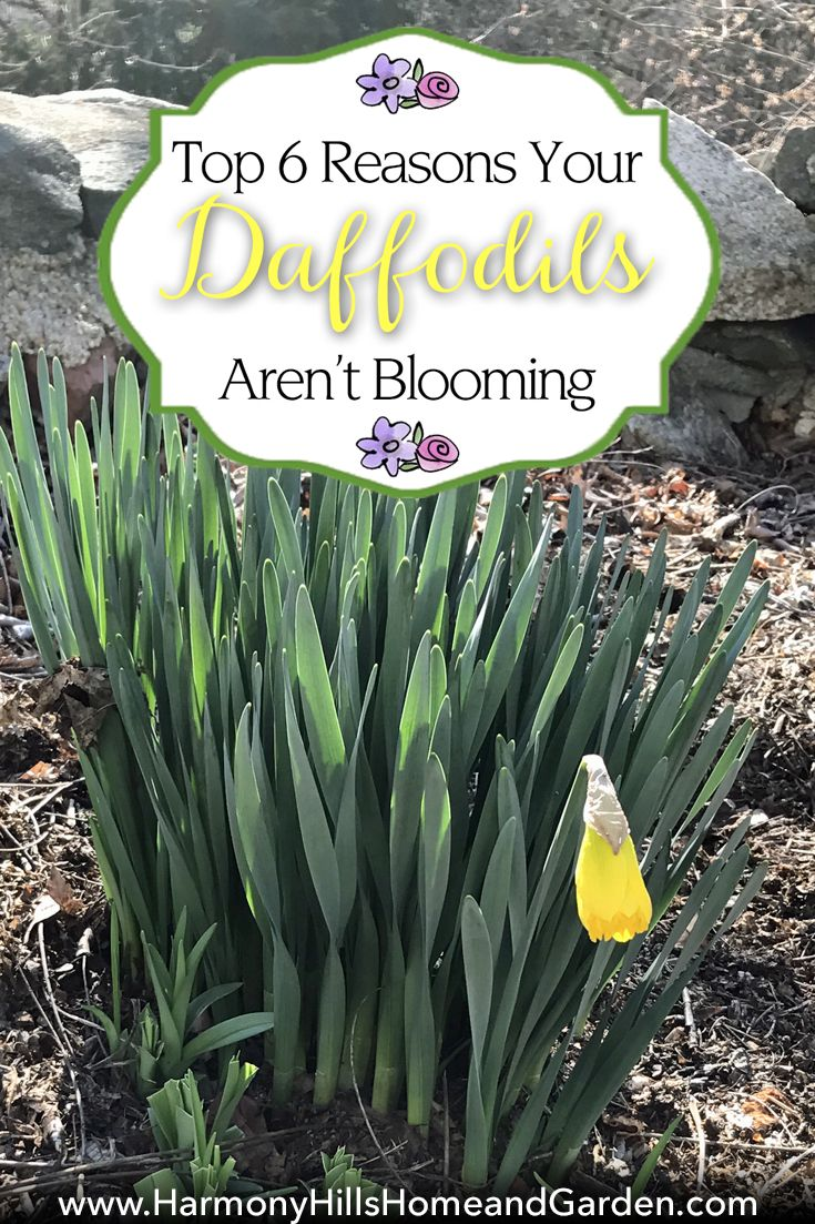 Top reasons your daffodils arenut blooming daffodils bulbs and