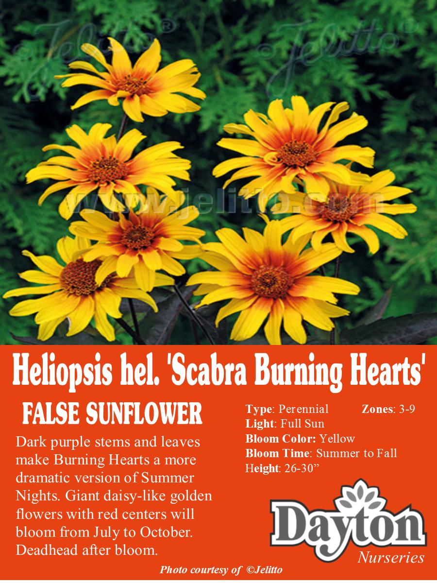 Heliopsis Hel Scabra Burning Hearts False Sunflower Dark