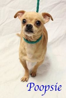 Pictures Of Poopsie A Mixed Breed Small Mix For Adoption In
