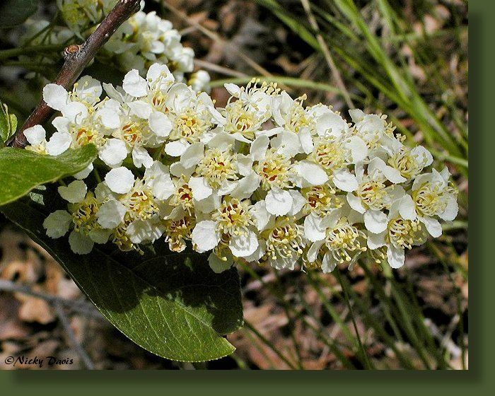 Black Chokecherry - Prunus virginiana var. melanocarpa - Rosaceae (Rose Family)