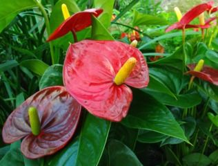 Anthurium alexia red plante tropicale conserver d - Plante tropicale d interieur ...