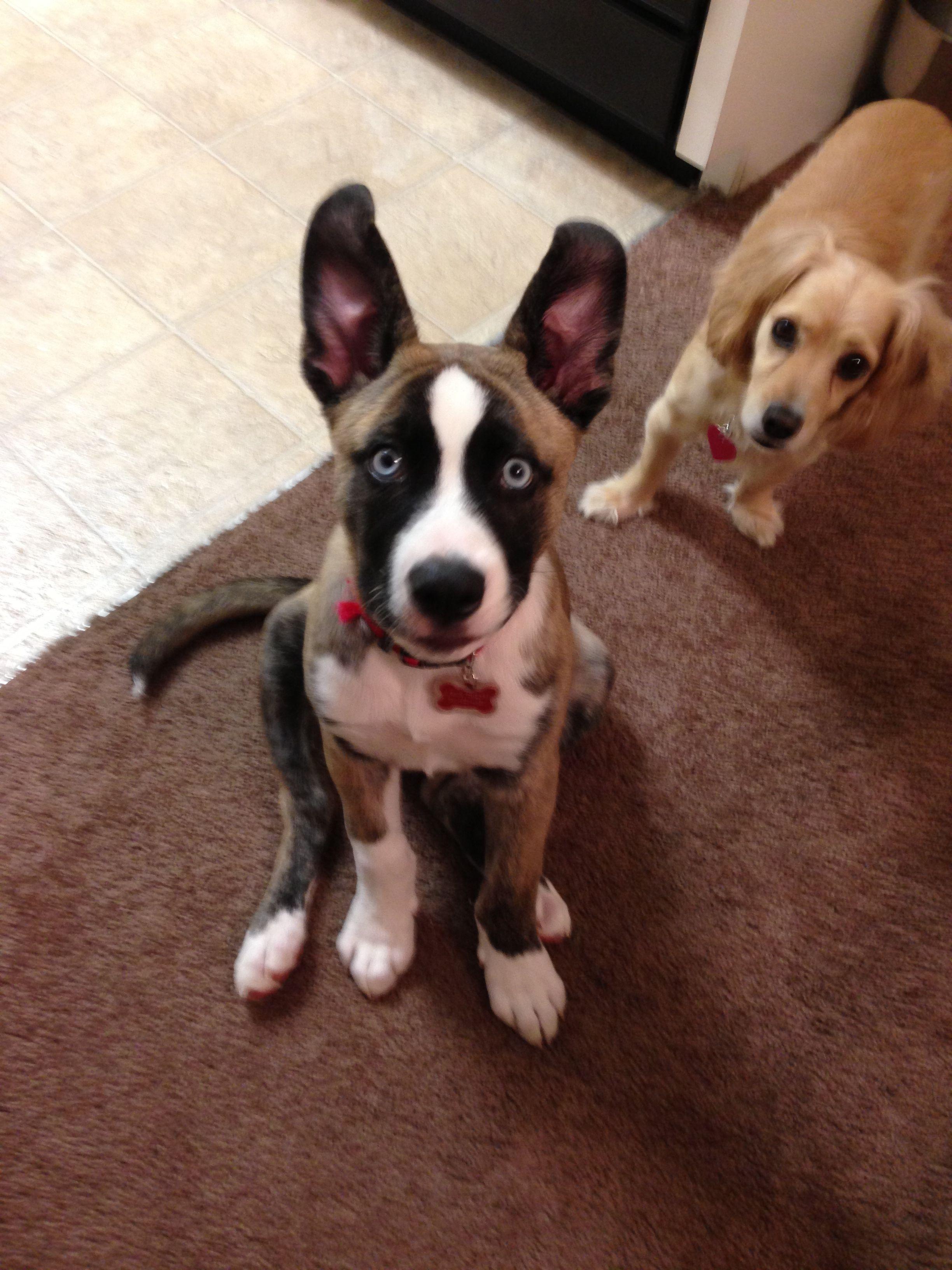 husky and american bulldog mix ❤ love my sexy beast | too cute