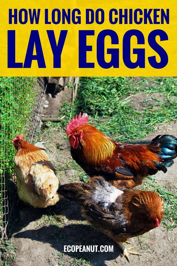 How Long do Chickens Lay Eggs? | Best laying chickens ...