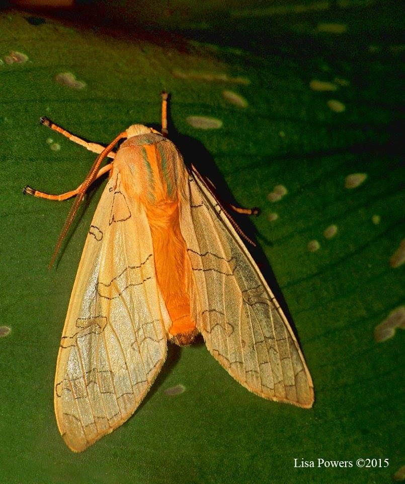 Tussock Moth 虫