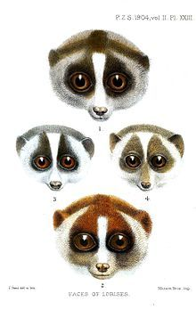 Loris - Wikipedia, the free encyclopedia | Curious Critters ...