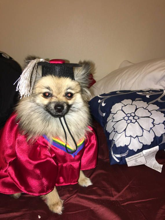 Dog Graduation Cap Gown Therapy Dog Graduation Cap Graduation Gown