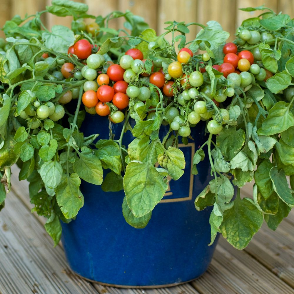 Growing cherry tomatoes in pots - Bajaja Small Red Cherry Tomatoes Dwarf Bush Early Season Outside