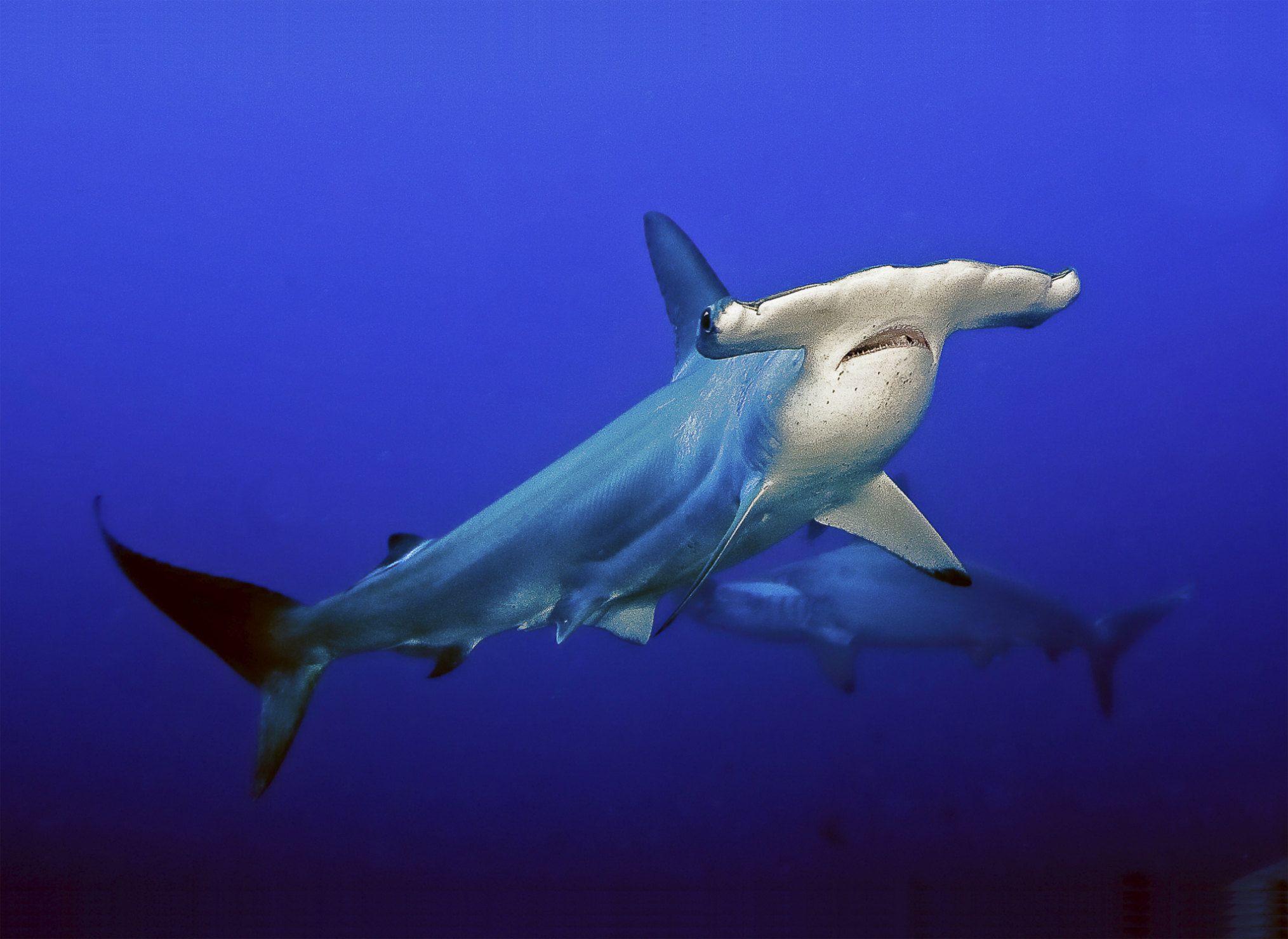 Por qué los tiburones martillos tienen tan ancha la nariz?   Tiburón ...