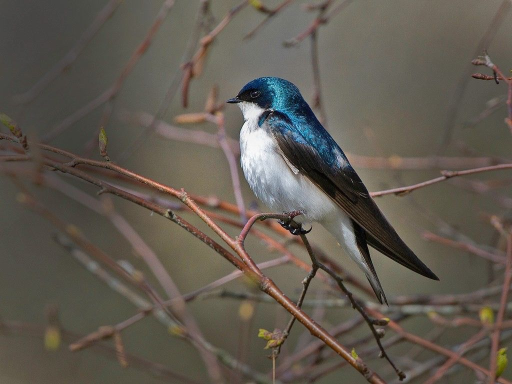 Tree swallows are cavity nesters that will also use available nest boxes. Watch for them in wooded swamps, marshes and near shorelines, zipping around eating insects!  Photo: Tree swallow courtesy of Rich Leche/Creative Commons.