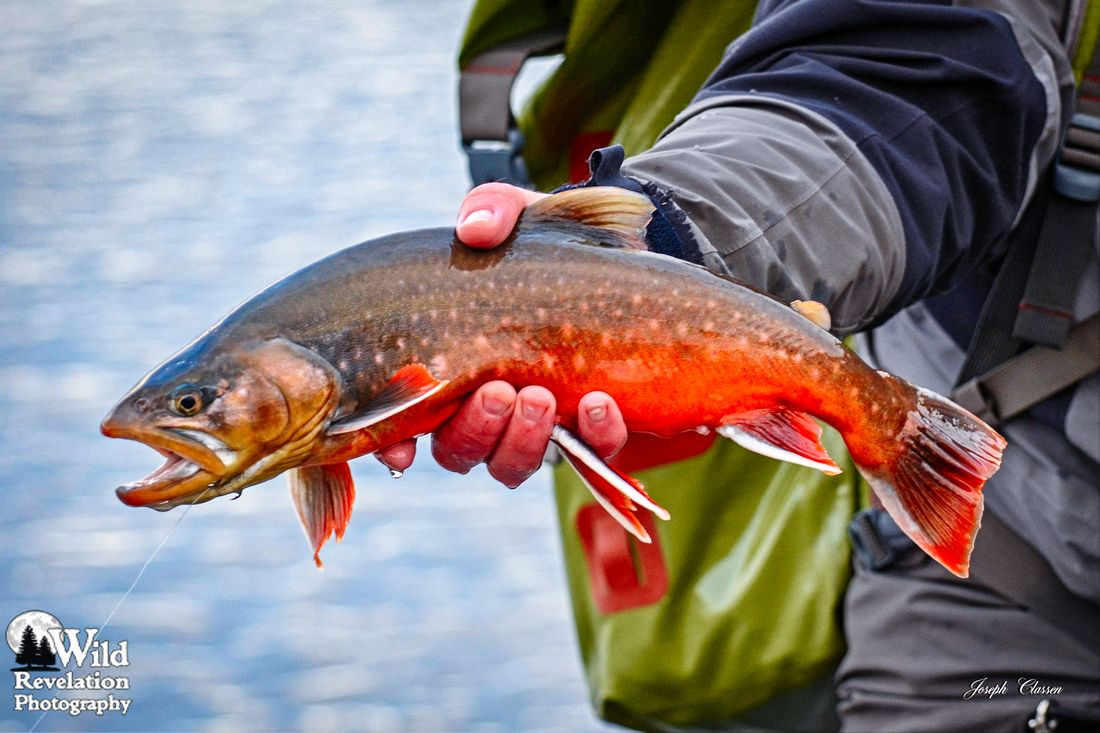 Arctic Char Colors. A fly fisherman shows off the stunning colors of ...